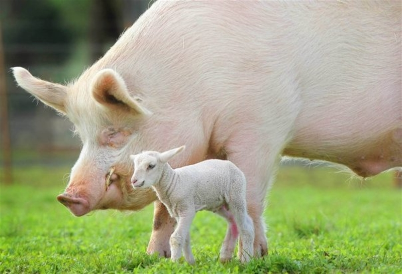 The pig and lamb